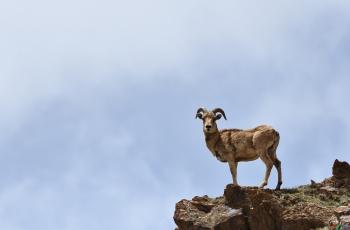 山巅公羊-----贺获首页动物精华