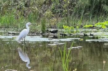 白鹭与黑水鸡(手机摄影)