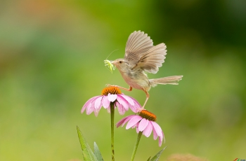 纯色山鹪莺——花鸟图!【贺获每日佳作】