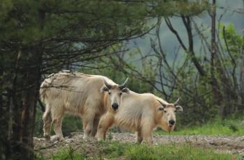 羚牛-----贺获首页动物精华