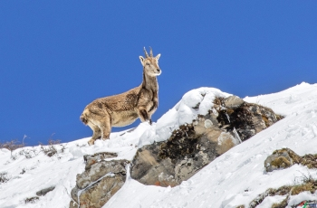 雪域岩羊~祝贺荣获首页动物精华!