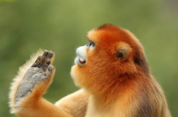 金絲猴(祝贺荣获首页动物精华)