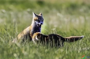 克什克腾旗两只小赤狐