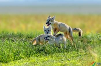 草原上的小精灵―――沙狐--- (祝贺老师作品荣获VIP综合精华)