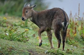 喜山斑羚  ----  祝贺荣获动物首页精华!
