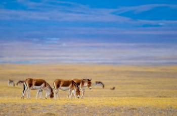 藏野驴(获首页动物精华)