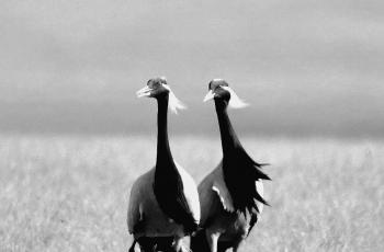 内蒙大草原上的蓑羽鹤  ----  祝贺荣获黑白影像首页精华!