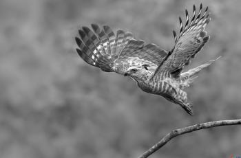 褐冠鹃隼  ----  祝贺荣获黑白影像首页精华!