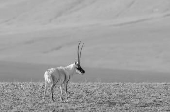 藏羚羊  ----  祝贺荣获黑白影像首页精华!