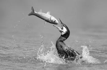 鸬鹚戏鱼  ----  祝贺荣获黑白影像首页精华!