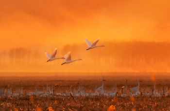 最美迁徙季----晨舞大天鹅