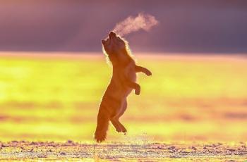 金光映沙狐。  ----   祝贺荣获动物首页精华!