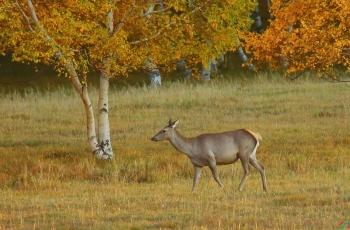 秋到草原---马鹿 (贺获动物精华)
