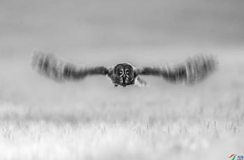 乌林鸮   ----   祝贺荣获黑白影像首页精华!