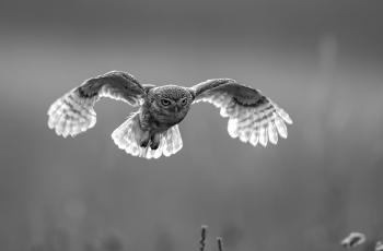 逆光飞行——纵纹腹小鸮  ----   祝贺荣获黑白影像首页精华!