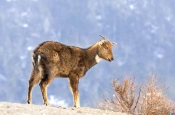 赤斑羚~~~贺图获《动物精华》