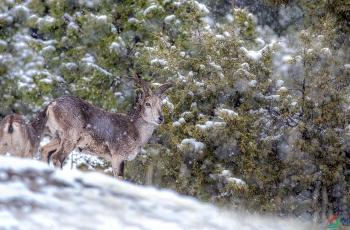 下雪中的岩羊   ----  祝贺荣获野生动物首页精华!