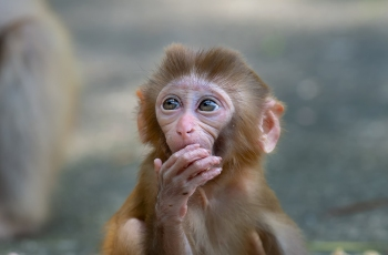 渴望(猕猴) ---- 祝贺荣获野生动物首页精华!
