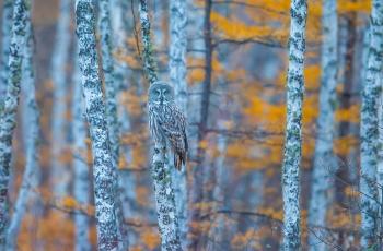 白桦林中觅鸮影
