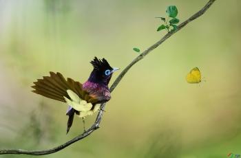 紫寿带《荣获每日一图》
