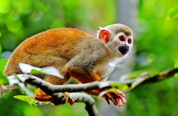 松鼠猴  ----   祝贺荣获野生动物首页精华!