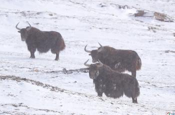 大雪中的野牦牛【祝贺荣获首页鸟类精华】