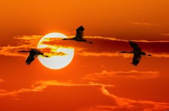 三鹤戏夕阳