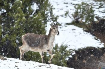 野羊   ----  祝贺荣获动物首页精华!