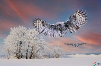 旷野乌林鸮(重阳节快乐!)