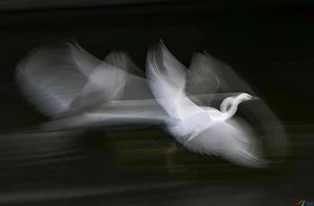 白鹭翩翩《荣获每日佳作》