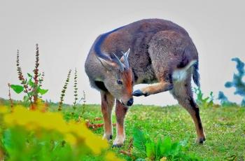 国家一级保护动物—《喜山斑羚》