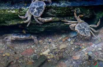 清水里的虾兵蟹将