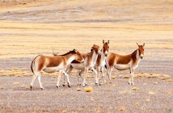 《造型--藏野驴》   ----   祝贺荣获野生动物首页精华!