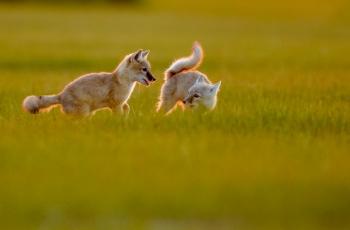沙狐   ----   祝贺荣获野生动物首页精华!