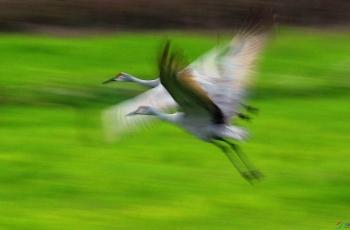 【飞翔吧,沙丘鹤】