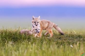狐狸娃!【贺:首页动物精华】