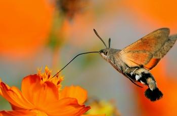 """当你在中国看到""""蜂鸟"""",那它极可能是一只幺蛾子【贺获首页总版推荐精华】"""