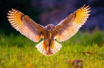 雕鸮(祝贺荣获首页鸟类精华)