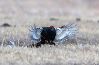 黑琴鸡(祝贺荣获首页鸟类精华)