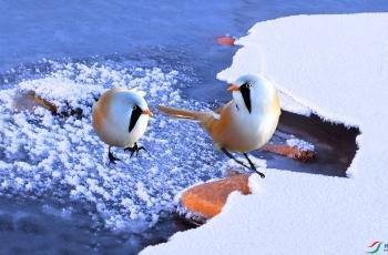 冰雪文须雀