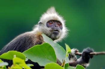 白头叶猴------贺获首页精华!