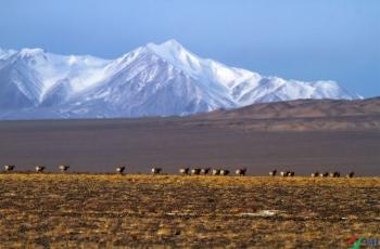 藏羚羊------贺获首页精华!