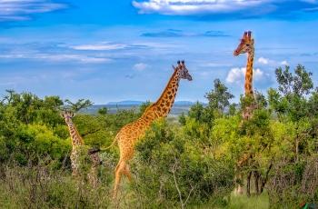 长颈鹿------非洲------贺获首页精华!