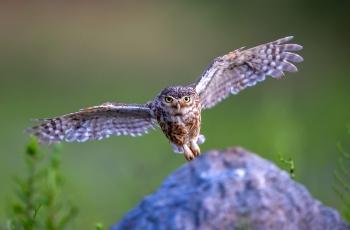 准备着陆——纵纹腹小鸮(祝贺老师佳作荣获首页精华)