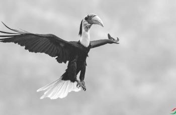 花冠皱盔犀鸟---- 祝贺荣获黑白影像首页精华!