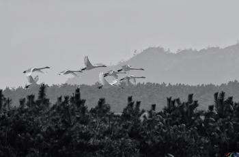 晨雾中飞舞---- 祝贺荣获黑白影像首页精华!