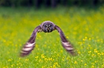 乌林鸮 --- ( 祝贺老师作品荣获VIP综合精华  )