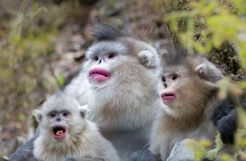 滇金丝猴----(恭贺获首页精华)