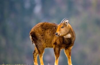 赤班羚(祝贺荣获首页动物精华)