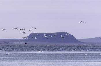 天鹅飞舞达里湖